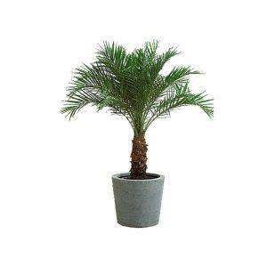 Dekorativ palma saqo