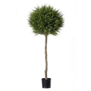 Təkli dairəvi formada biçilmiş Şam ağacı