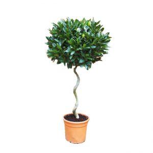 Spiral gövdəli biçilmiş dəfnə ağacı